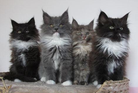 liebevolle katzenbabys von unseren norwegische waldkatzen. Black Bedroom Furniture Sets. Home Design Ideas